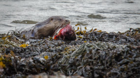 Otter – Inverness, Scotland